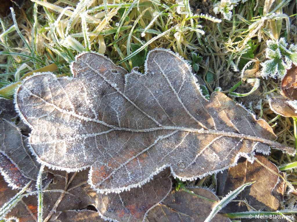 Gefrorenes Eichenblatt