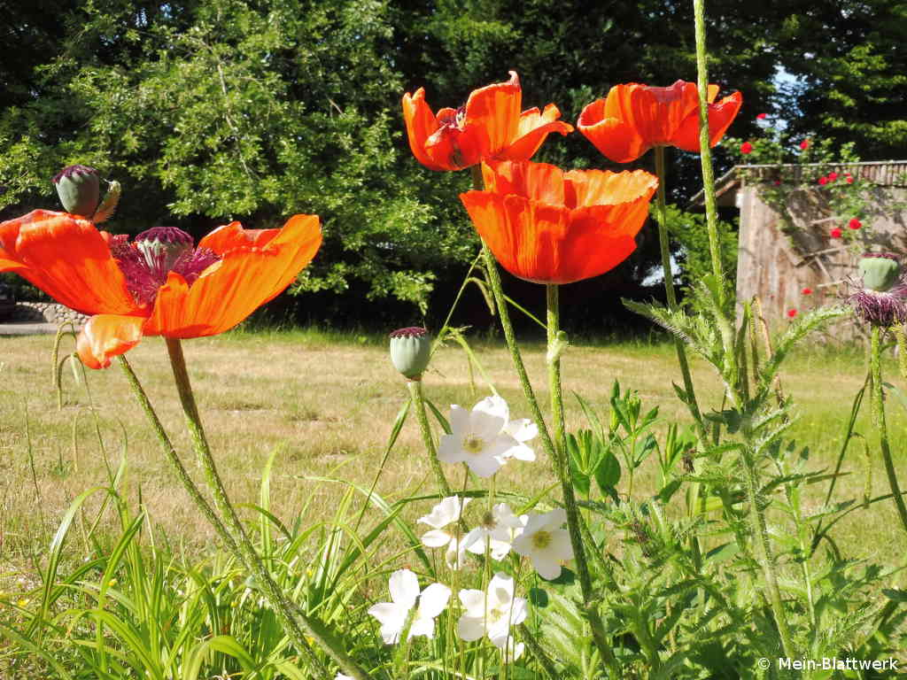 Roter Mohn in Blüte