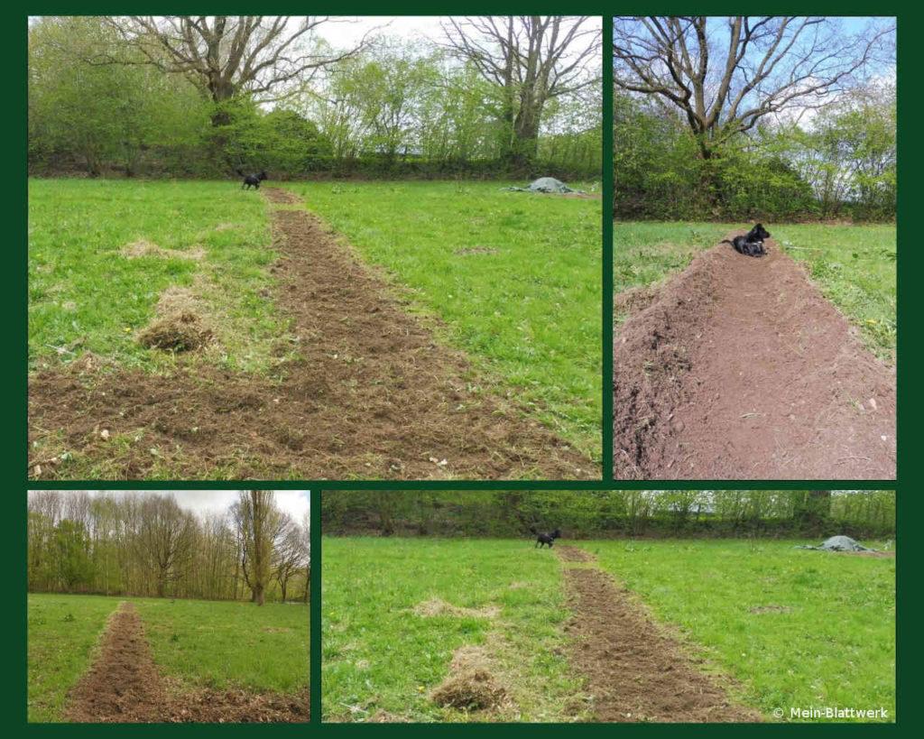 Grüner Spargel im Garten, die Beetvorbereitung beginnt