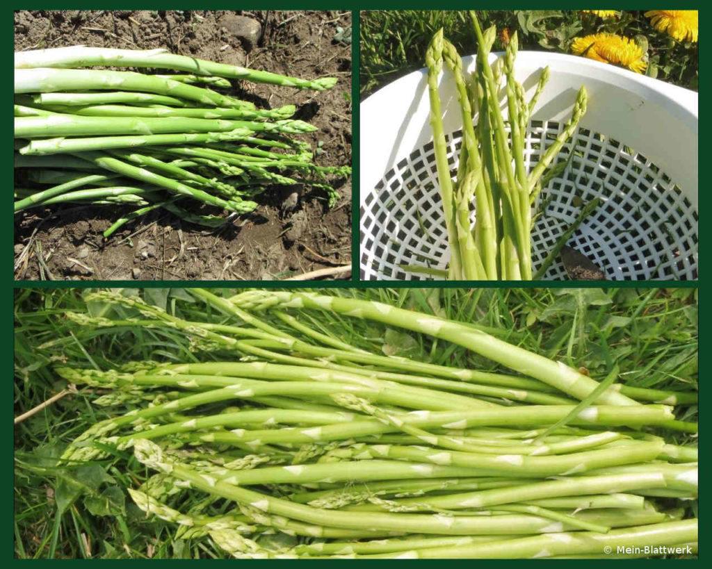 Grüner Spargel, die erste Ernte beginnt